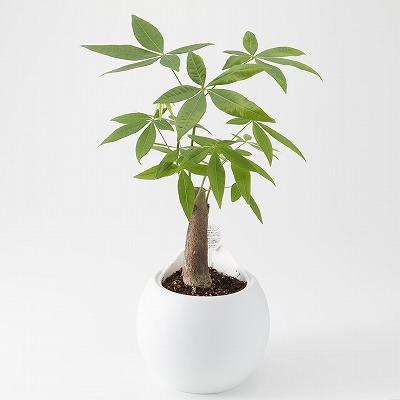 s 0280001006738 1260 - パキラを置くと商売繁盛するって本当?観葉植物と仕事運アップの関係とは?