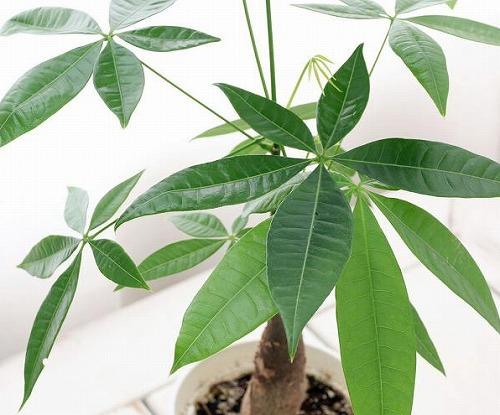 s 2019 12 20 10h41 58 - パキラを置くと商売繁盛するって本当?観葉植物と仕事運アップの関係とは?