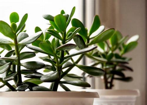 s 2019 12 20 16h45 29 - パキラを置くと商売繁盛するって本当?観葉植物と仕事運アップの関係とは?