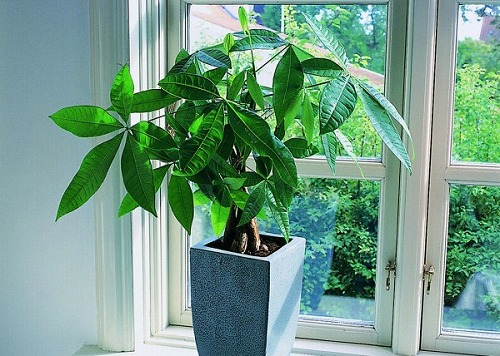 s 8ee2c85e92a15d10cb29962932a6029c e1405602454435 - パキラを置くと商売繁盛するって本当?観葉植物と仕事運アップの関係とは?