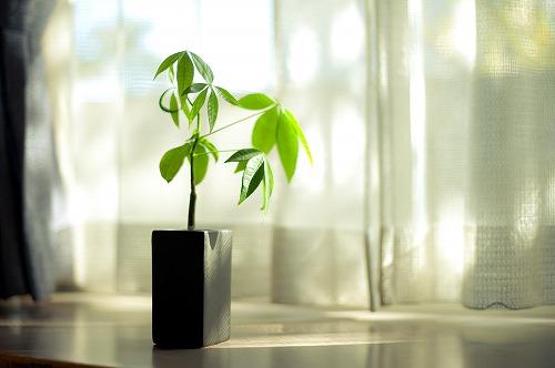 s B - パキラを置くと商売繁盛するって本当?観葉植物と仕事運アップの関係とは?
