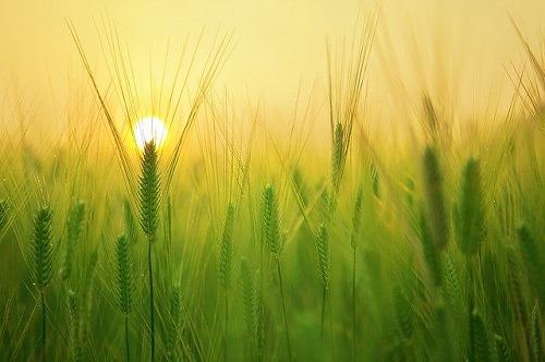 """s barley field 1684052 640 - イエスマン""""YES""""は人生のパスワードの精神を起業で活かす!"""